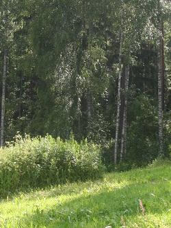 kesäinen pellonreuna